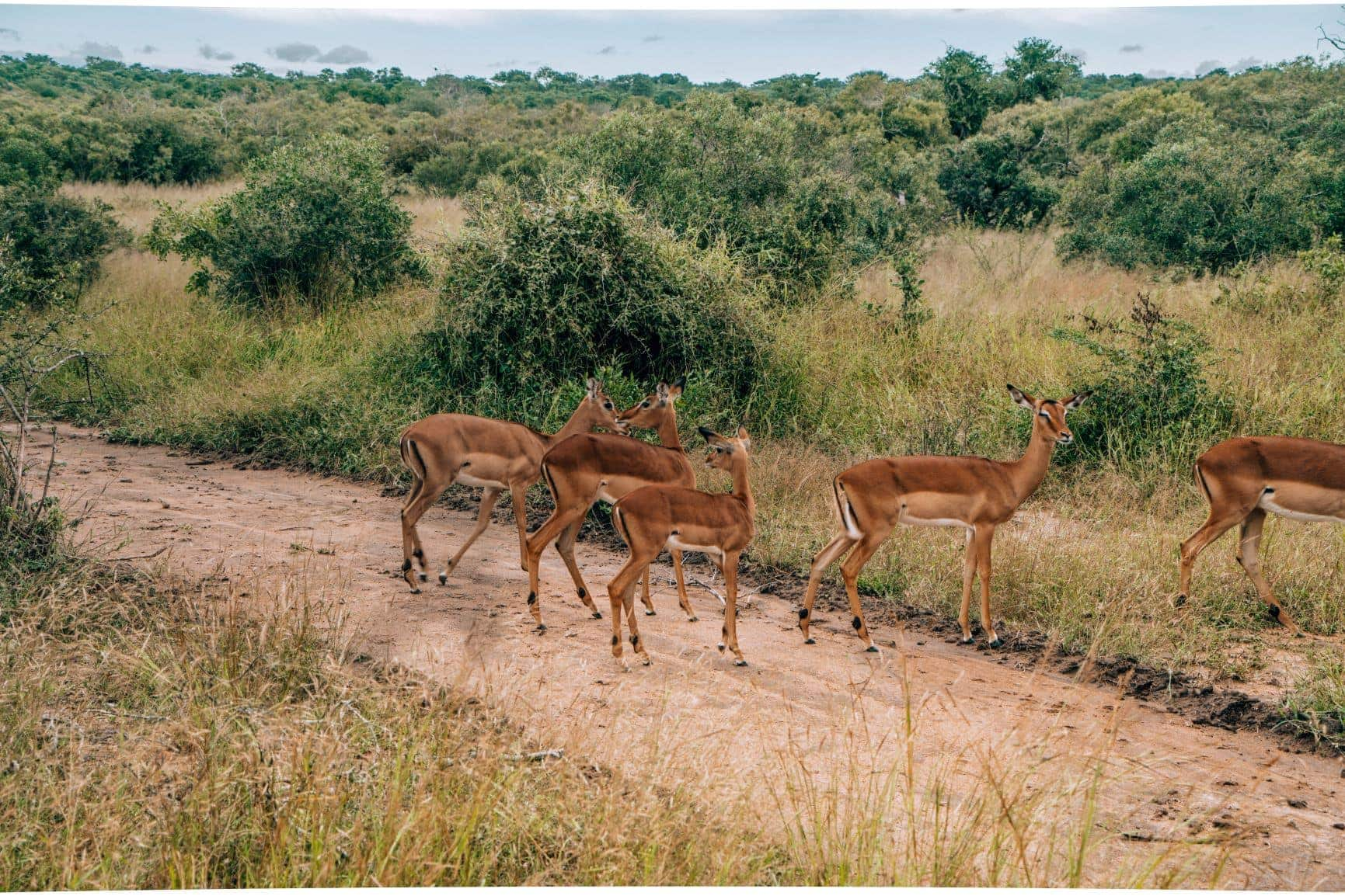 impalas safari drive kruger national park