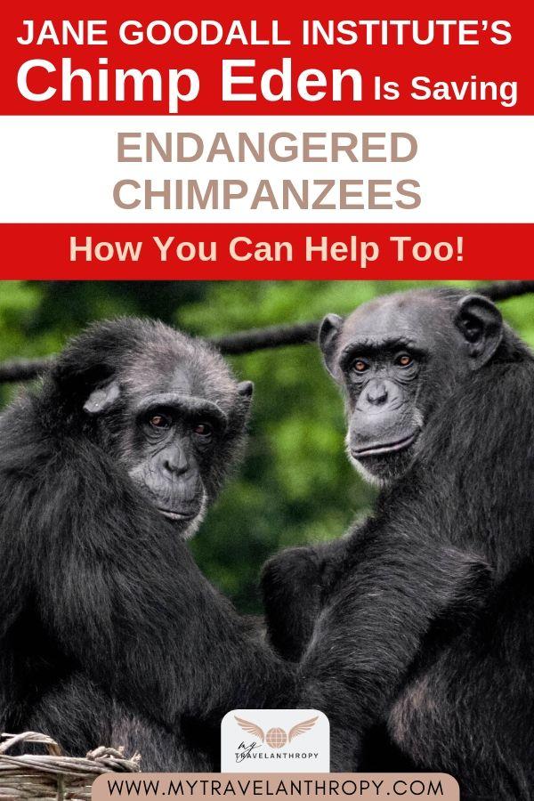 jane-goodall-chimpanzees-chimp-eden